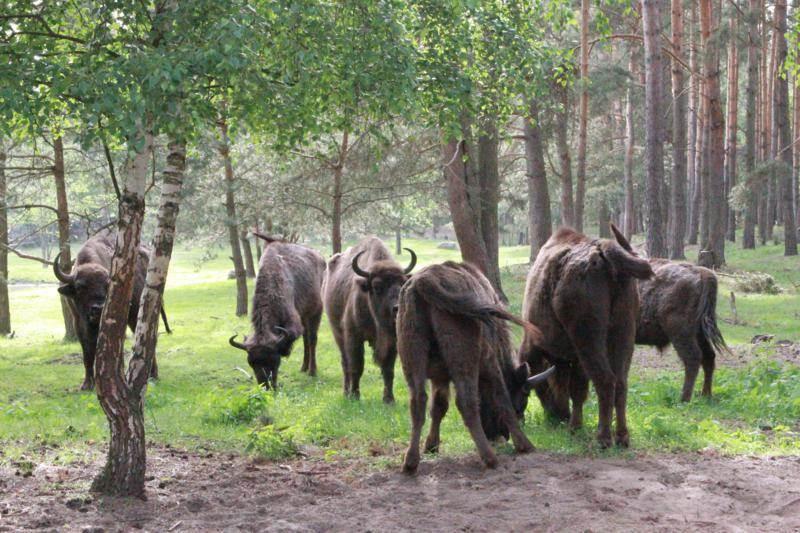 Kiermusiańskie-Żubry-(całe-stado))