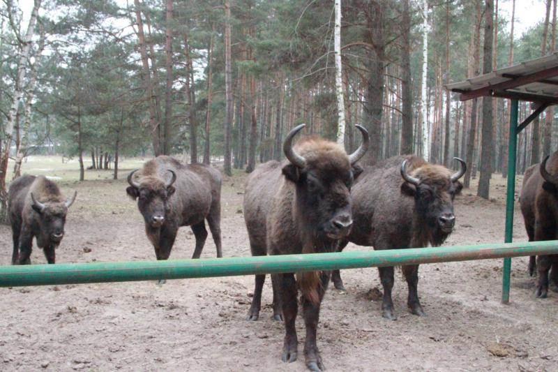 Kiermusiańskie-Żubry-(przy-paśniku))